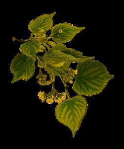 herbal-1299821_640