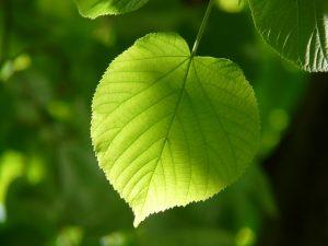 leaf-55859_640
